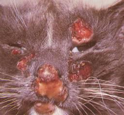 cryptococcosis kucing