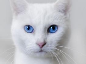 apakah kucing putih mata biru tuli ?