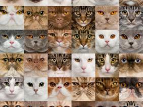 jenis kucing ras