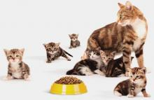 pertumbuhan, perkembangan kucing