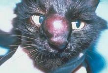 salah satu penyakit jamur pada kucing