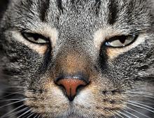 feline panleukopenia, virus kucing