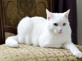 kucing warna putih solid